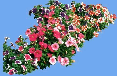 zyok888] 素材贴图专区 → 园林植物图片-草花类