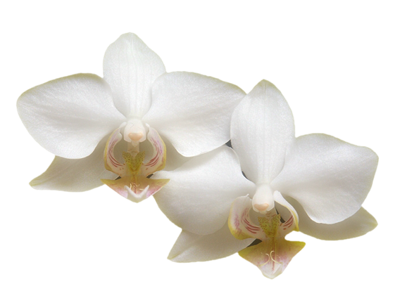 透明png花类素材(2)   求ps透明背景花瓣素材~要做一个花瓣雨效果的动